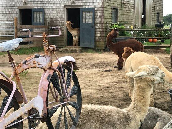 Island Alpaca Company of Martha's Vineyard : Alpacas