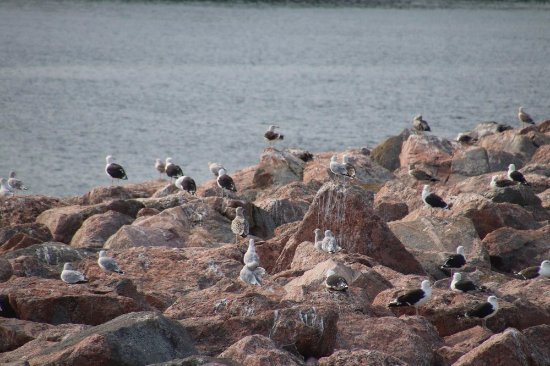 Neil's Harbor, Canadá: More seagulls nearby the Lighthouse Ice Cream Parlour
