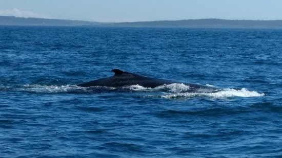 Tiverton, Canadá: Our first humpback of the day