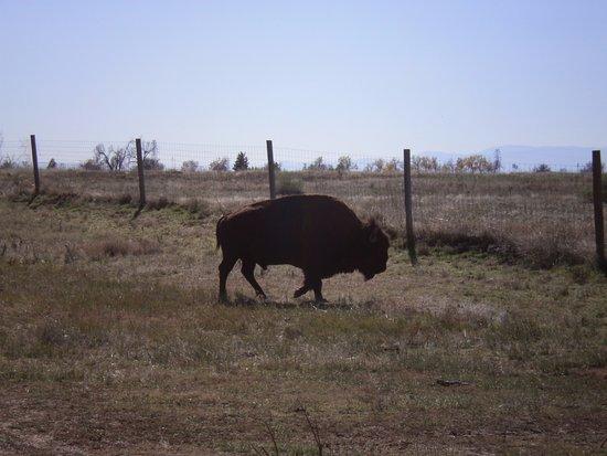 Commerce City, CO: Buffalo crossing!