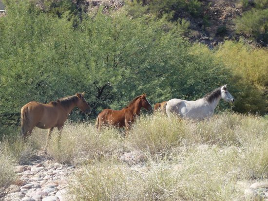 Saguaro Lake Guest Ranch: Wild Horses in the park