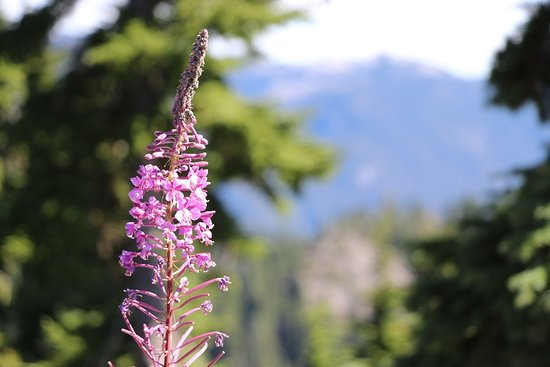 Grouse Mountain: Wildflowers at the summit.
