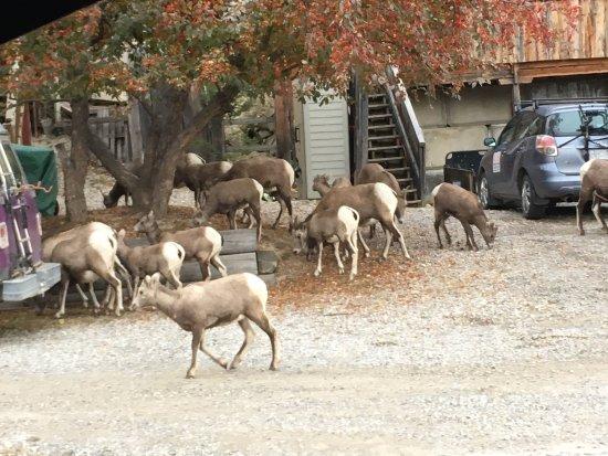 Gateway Motel: Mountain Goat families