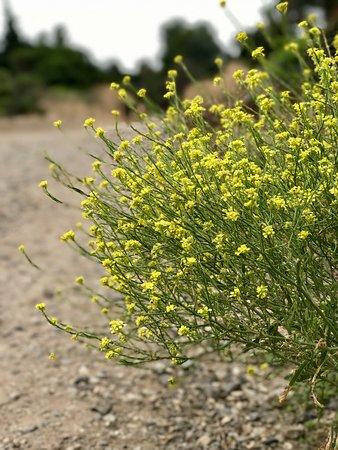 Palomar Mountain, Califórnia: Mustard seed