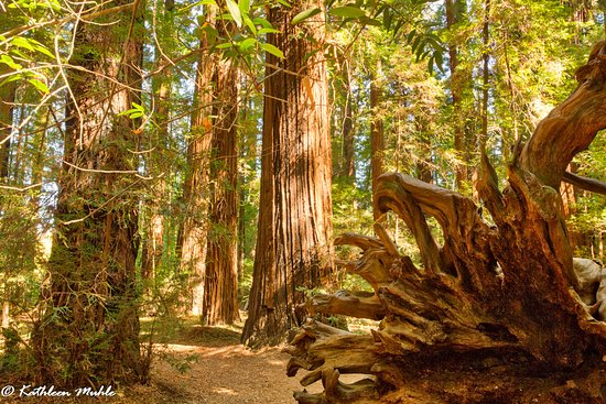 Boonville, Kaliforniya: Fallen redwood tree root system