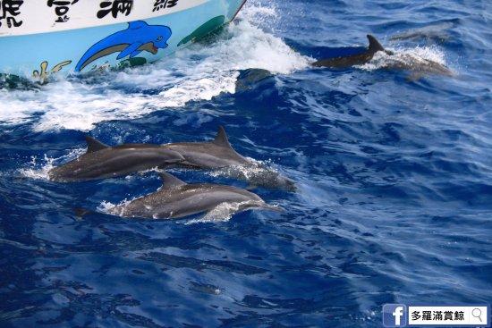 Hualien, Taiwan: 多羅滿賞鯨 電話:03-8333821(代表號) 地址:花蓮市民權路37號 網址: