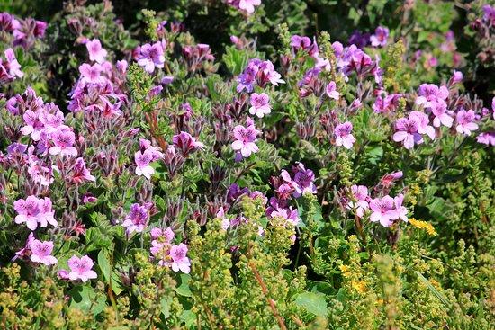 Hermanus, South Africa: bright pink wild pelargonium