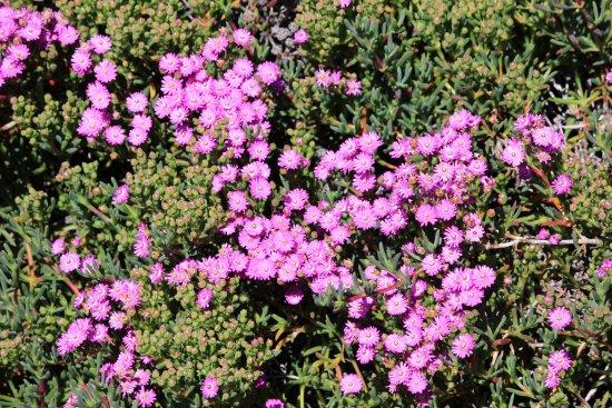 Hermanus, South Africa: splash of daisy pink