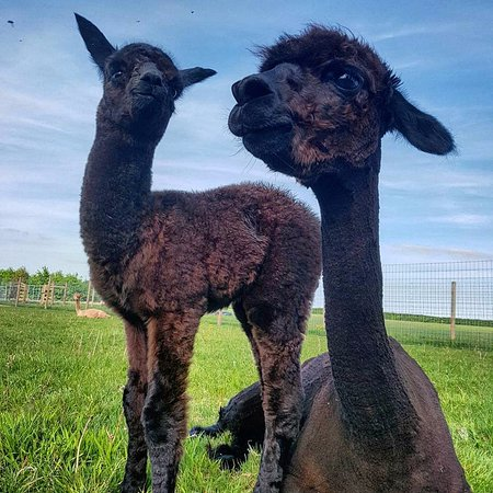 Norfolk, UK: Our first cria born at Stubbs Farm - Arthur with his mother Fortuna
