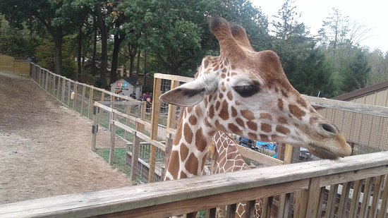 Norristown, PA: Giraffe feeding time