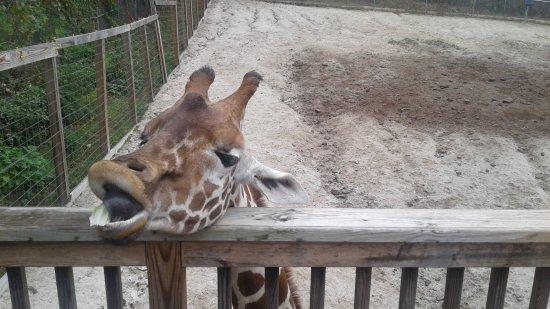 Norristown, Pensilvania: Giraffe feeding time