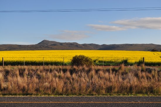 canola fields en route to arniston outside bredasdorp picture of