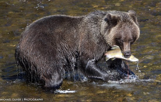 Glendale Cove, Canada: Feeding grizzly