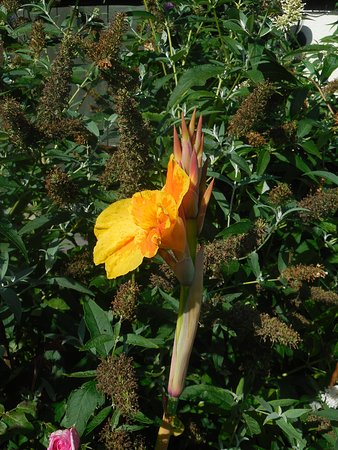 Appalachian Spring B&B: flower in garden  Bird of Paradise? 2017