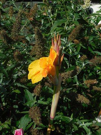Dartington, UK: flower in garden  Bird of Paradise? 2017