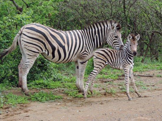 Santa Lúcia, África do Sul: Female zebra with her baby on safari with Wild-Life Tours Africa