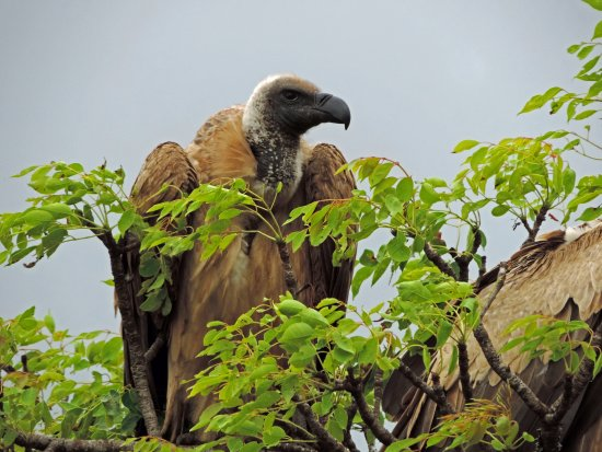 Santa Lúcia, África do Sul: vulture in the tree relaxing on safari with Wild-Life Tours Africa