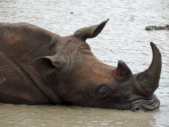 Santa Lúcia, África do Sul: white rhino cooling off in the swamps on safari with Wild-Life Tours Africa