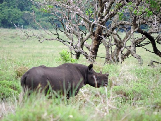 St Lucia, South Africa: male black rhino cooling off in the swamps of iSimangaliso on safari with Wild-Life Tours Africa
