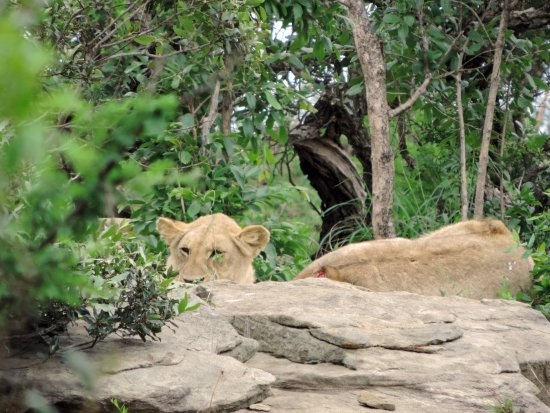 St Lucia, South Africa: lions hiding in the rocks on safari with Wild-Life Tours Africa