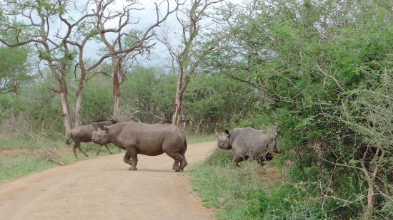 St Lucia, South Africa: two black rhino charge across the road while on safari with Wild-Life Tours Africa