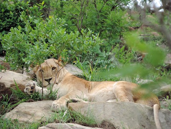St Lucia, Sudafrica: Lioness playing with some branches while she cools in the shade on safari with Wild-Life Tours A