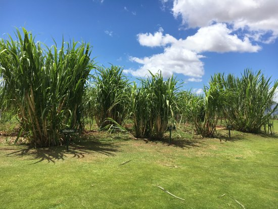 Kula, Χαβάη: Sugar can varieties - they grow MANY varieties and work to save those going extinct.