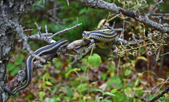 Lindsay, Καναδάς: A variety of different snakes can be found at Ken Reid Conservation Area.