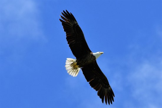 Captain Randys Fishy Business: Bald Eagles are common(estimated 1500 nesting pairs in Florida)