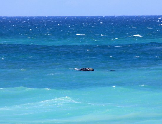 Bredasdorp, South Africa: whales close to shore
