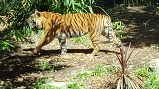 San Diego Zoo Safari Park : One Pissed Off Tiger. Sprayed the crowd. Funny!