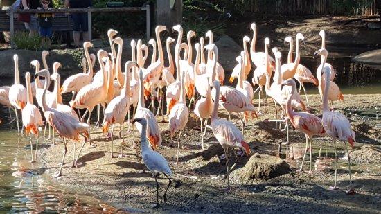 San Diego Zoo Safari Park : Flamingos