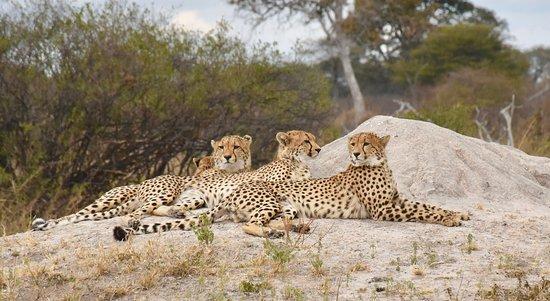 Hwange National Park, Zimbabwe: A coalition of cheetahs relaxing in Hwange.