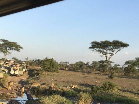 Región de Arusha, Tanzania: A pride of lions feast on a zebra they downed.
