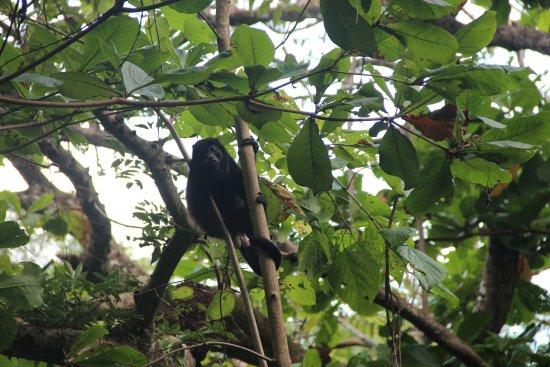 Hotel Paraiso del Cocodrilo: Affe auf dem Weg zum Strand