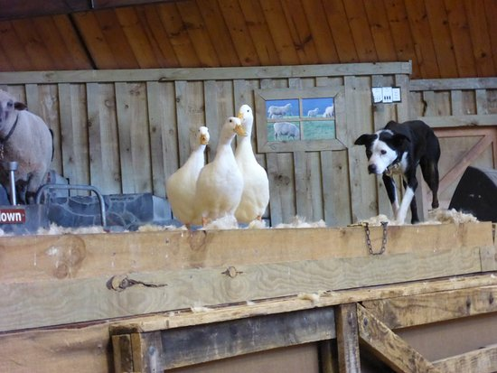 Ngongotaha, New Zealand: Dog herds ducks