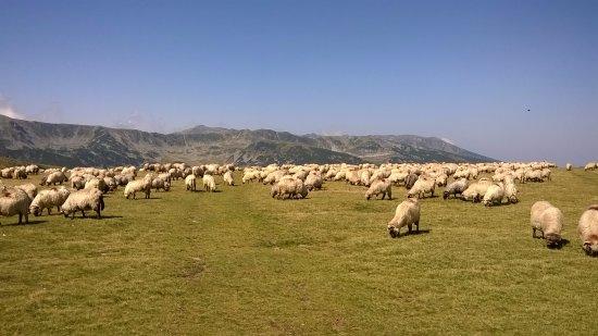 Gorj County, Roumanie : ovečky