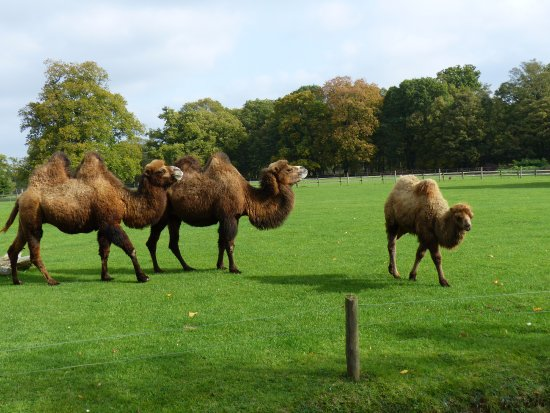 Burford, UK: Bactrian camels in the park