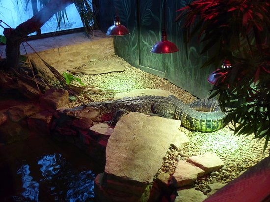 Burford, UK: rare Morelet's crocodile (Belize) in the reptile house-part of breeding programme