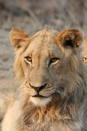 Monwana Game Lodge: Lion