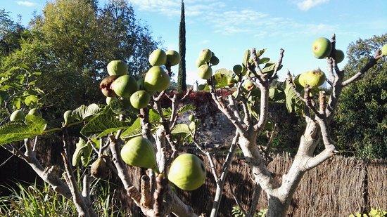 Leran, França: vijgenboom in de tuin, bijna rijp