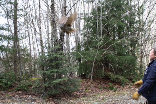 Errington, Kanada: Barred Owl flying free again after recovering from a vehicle collision