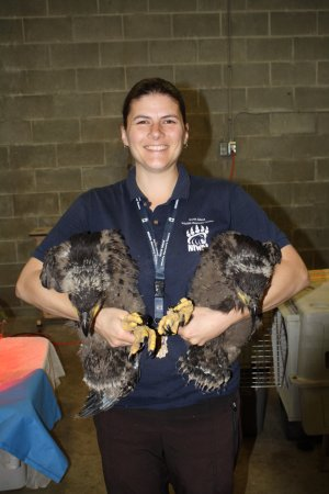 Errington, Kanada: Cory holding twin eaglets found out of the nest and no parents around
