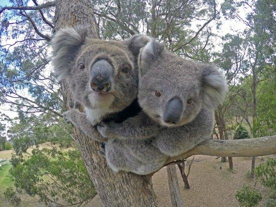 Gippsland, Austrália: Koalas on Raymond Island