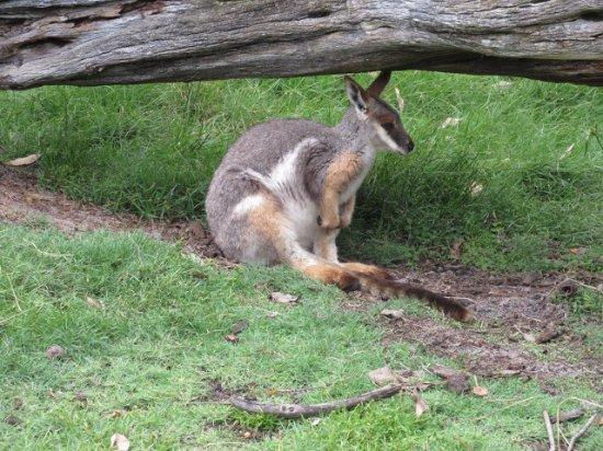 Whiteman, Australia: 澳洲動物園Caversham Wildlife Park