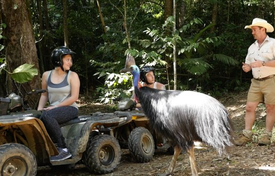 Kuranda, Avustralya: One of the resident cassowaries turns up while on tour