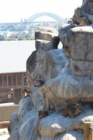 Mosman, Australia: Goats with a view.