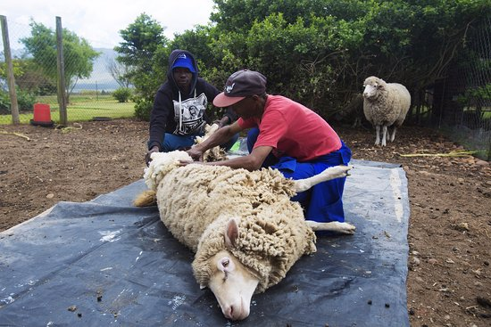 Kwetu Guest Farm: shearing sheep the old fashioned way!