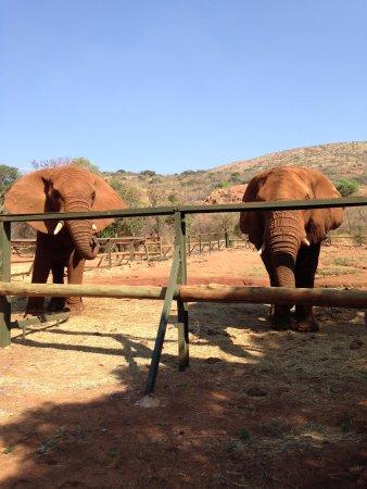 Hartbeespoort, แอฟริกาใต้: Elephants