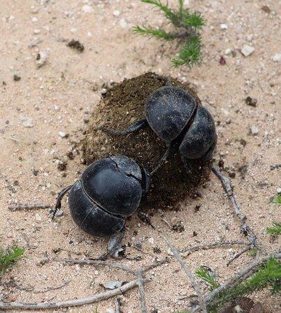 Addo Elephant National Park, Sudáfrica: escarabajos peloteros. Esenciales para el parque